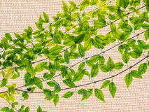 Vine growing on a fabric roof. Background Stock Photo