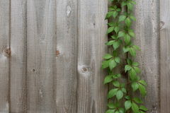 Vine growing in a fence Stock Image