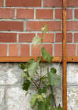 Vine growing near foundation. A view of a green vine growing near the foundation or outside wall of a building Stock Photos