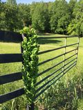 Vine growing on an old gate Royalty Free Stock Image