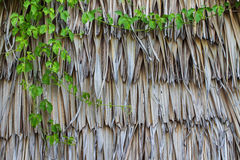 Vine growing on old nypa palm wall Royalty Free Stock Images