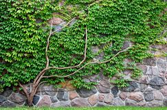 Vine Growing On A Rock Wall Stock Photo