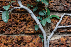 Vine growing on a rock wall Stock Photos