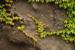 Vine growing on rocks stock image