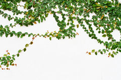Vine growing on the white wall Stock Photography