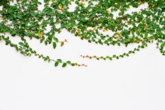 Vine growing on the white wall Royalty Free Stock Photo