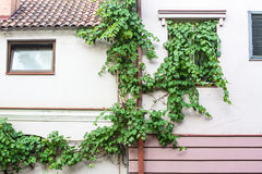 The vine grows on the facade of the pink building. Stock Photos