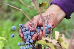 Vine harvesting in Bulgaria Merlot cluster in woman's hand Royalty Free Stock Image