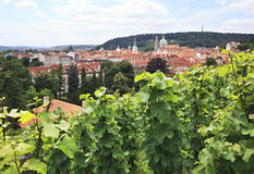 Vine on the hills in Prague. Royalty Free Stock Image