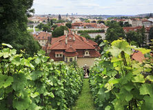 Vine on the hills in Prague. Stock Photo