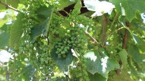 Vine. Image was shot in Burgas Bulgaria stock video