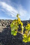 Vine In La Geria, The Wine-growing Area In Lanzarote Stock Image