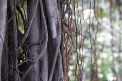 The vine involves banyan ancient tree Royalty Free Stock Photography