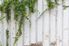 vine ivy growing frame royalty free stock photography