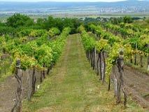 Vine landscape photography. Beauty vine landscape in Hungary Stock Photo