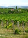 Vine landscape photography. Beauty vine landscape in Hungary Stock Image