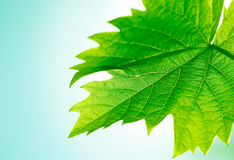 Free Vine Leaf Royalty Free Stock Images - 14233419