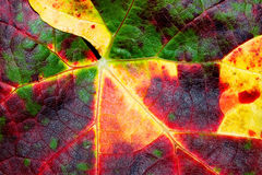 Vine leaf. Stock Photos