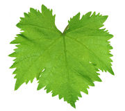 Vine leaf. Close up of vine leaf - isolated on a white background royalty free stock images