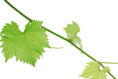 Vine leaf Royalty Free Stock Photos