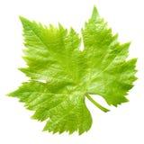 Vine leaf. Stock Photography