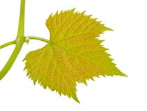 Vine-leaf Stock Photos
