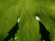 Vine leaf. Series of the natural textures (Vine leaf Stock Photos