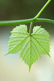 Vine leaf. A green vine leaf on a blurred background Royalty Free Stock Image