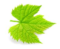 Vine leaf. Isolated on white background Royalty Free Stock Photo