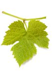 Vine leaf Stock Photos