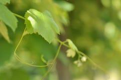 Vine leaf Stock Images