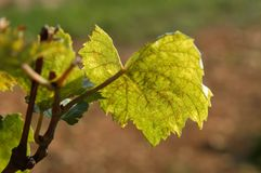 Vine leaf. In the vineyard Royalty Free Stock Photography