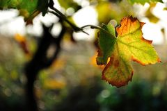 Vine leaf in autumn Royalty Free Stock Images