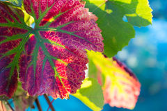 Vine leaf in autumn colors Royalty Free Stock Image