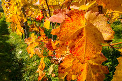 Vine leaf in autumn colouring. Vine leaf in yellow, orange and red autumn colouring Stock Photography
