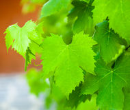 Vine leaf Royalty Free Stock Images