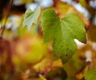 Vine leaf Royalty Free Stock Image
