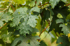 Vine leaf disease. Leaves of grapes with disease Royalty Free Stock Photography