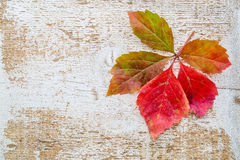 Vine leaf in fall colors against wood Stock Photos