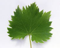 Vine leaf_frontside. Close-up of vine leaf frontside Royalty Free Stock Photography