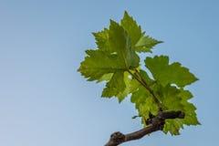 Vine leaf Stock Photo