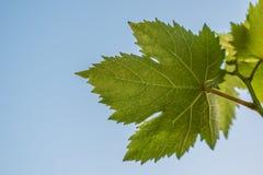 Vine leaf Stock Photos