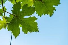 Vine leaf Royalty Free Stock Photos