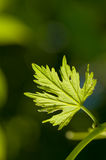 Vine leaf growing. Small vine leaf just growing Royalty Free Stock Photos