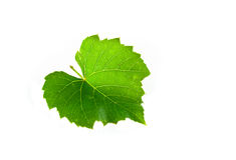 Vine leaf. Isolated on white Stock Image