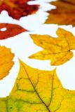 Vine leaf and maple leaves in autumn colouring in vertical forma Royalty Free Stock Photo
