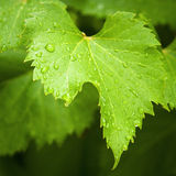 Vine leaf in the rain stock image