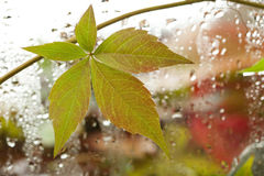 Vine leaf and rainy window with water drops Stock Photography