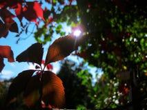 Vine-leaf Royalty Free Stock Images