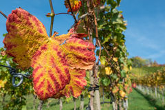 Vine leaf in red and yellow autumn colouring Stock Photos